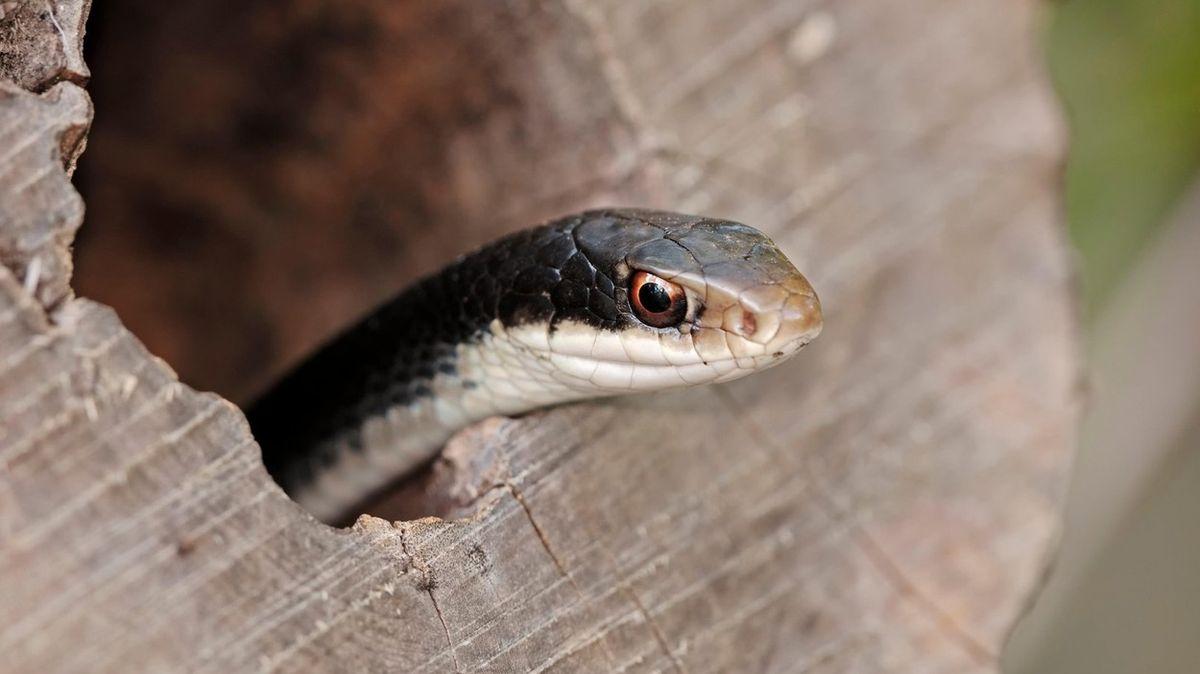 """Okolo domu se plazil had se dvěma hlavami, mezi sebou se """"hádají"""""""