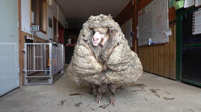 Ze zaběhnuté ovce ostříhali 35 kilogramů vlny