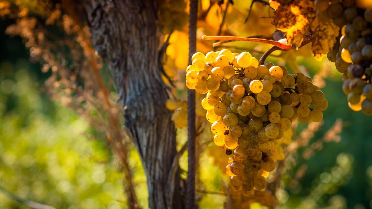 Svým ryzlinkem rýnským boduje české vinařství i ve světě