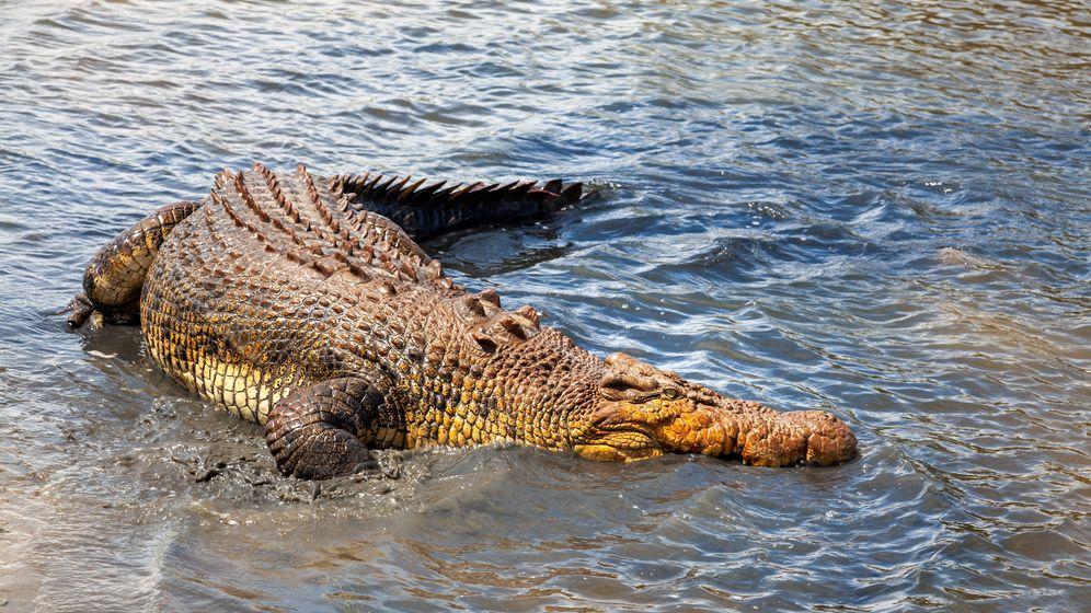 Fotograf zachytil obřího krokodýla, jak si pochutnává na žralokovi