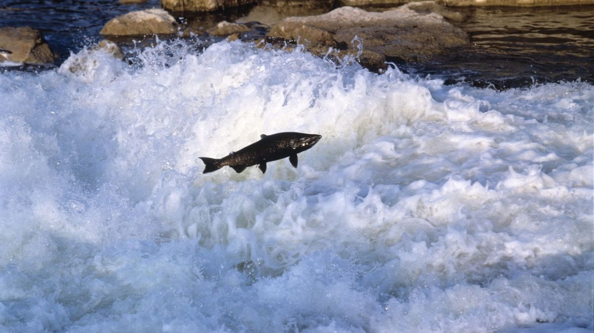 Kalifornští lososi by kvůli suchu nedoplavali k oceánu. Budou je vozit