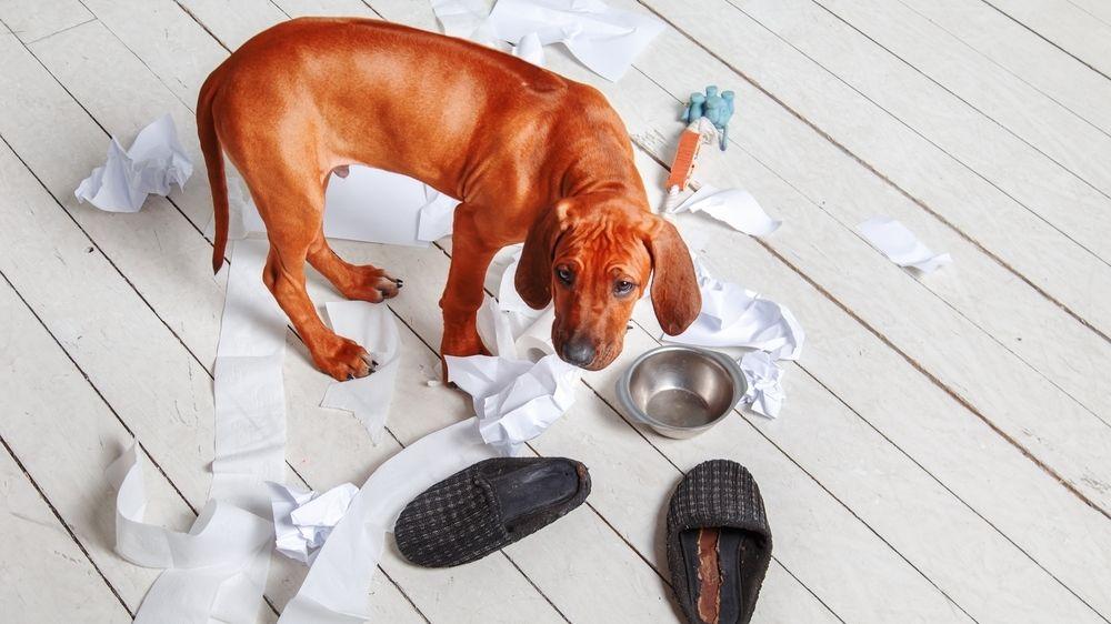 Řadu psů pořízených během pandemie trápí separační úzkost
