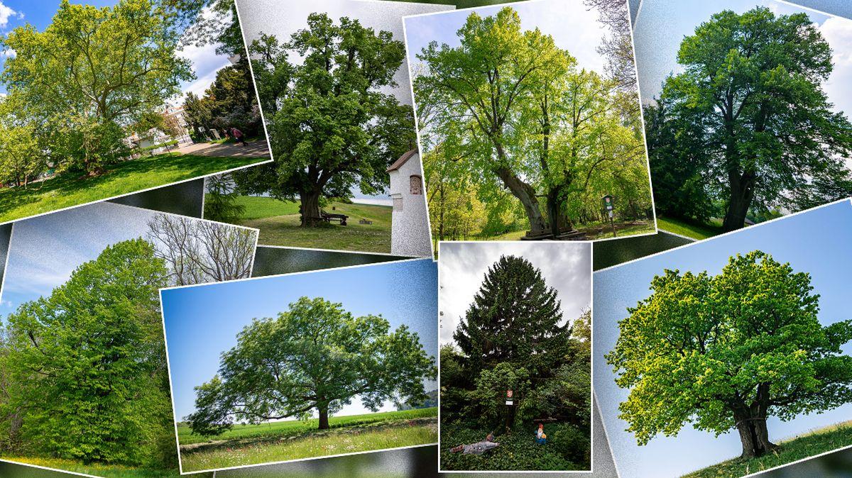 Začíná finále ankety Strom roku. Vyhraje některá z lip, dubů, smrk anebo to všem natře hrušeň?