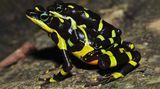 Vědci objevili vnepřístupných oblastech Panamy nový druh ropuch