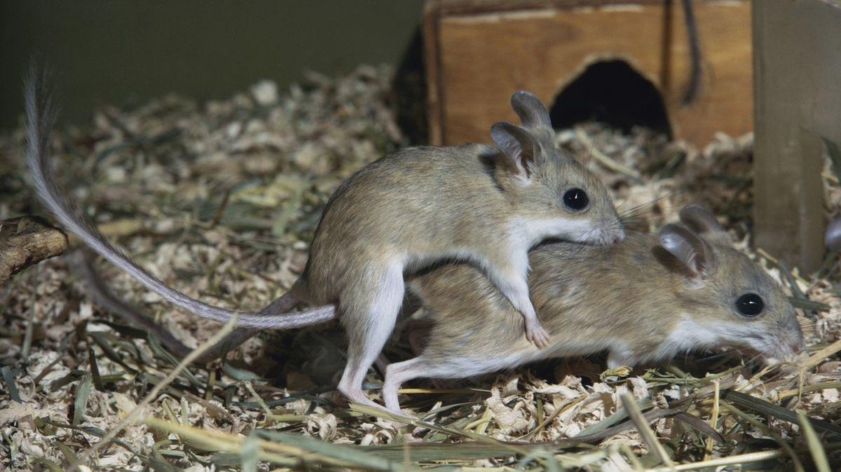 Napalm na myši, nebo hadi. Zoufalí australští farmáři sdílejí návody na likvidaci hlodavců