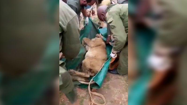 Nairobi vyděsil uprchlý lev