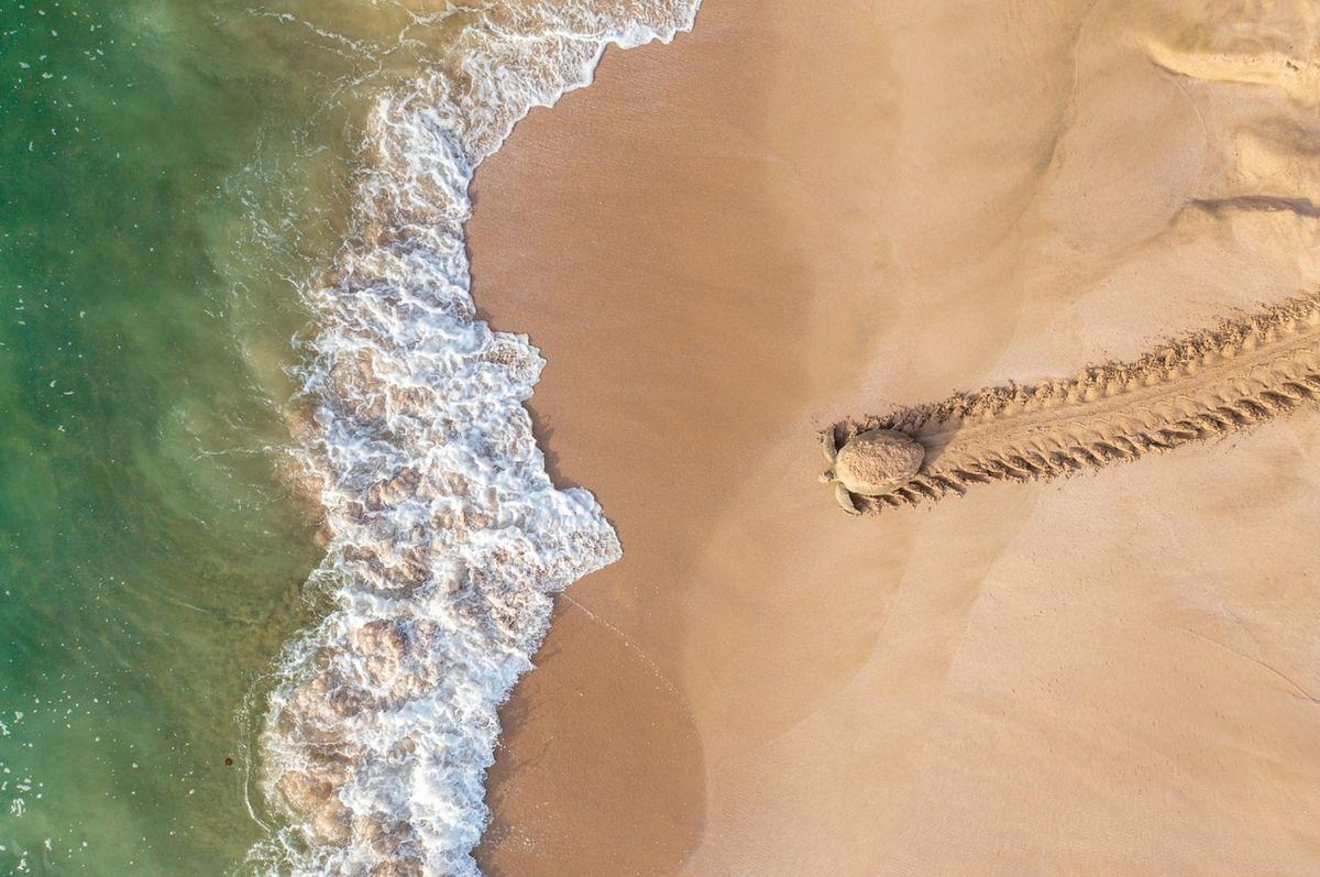 Zpátky za dobrodružstvím (Omán) - Vítěz kategorie Život v divočině. Kareta obrovská míří zpět do vody poté, co nakladla vejce do hnízda na Ománském pobřeží v želví rezervaci Raššád.