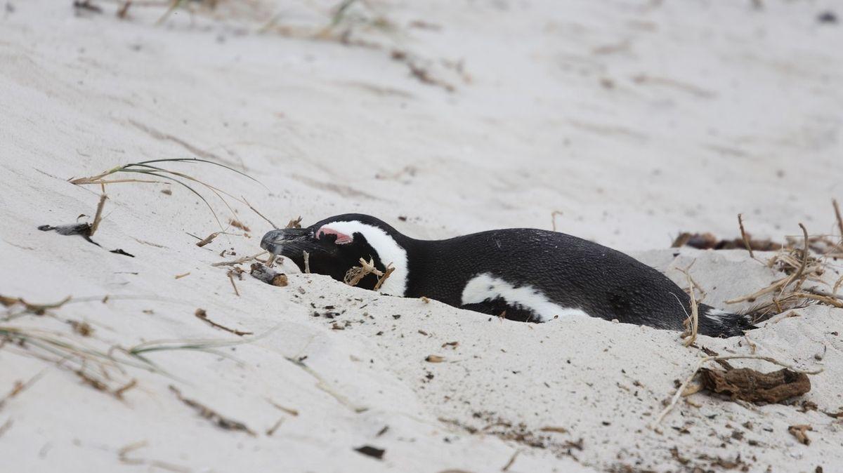 Na pláži v JAR našli přes 60 tučňáků ubodaných včelami