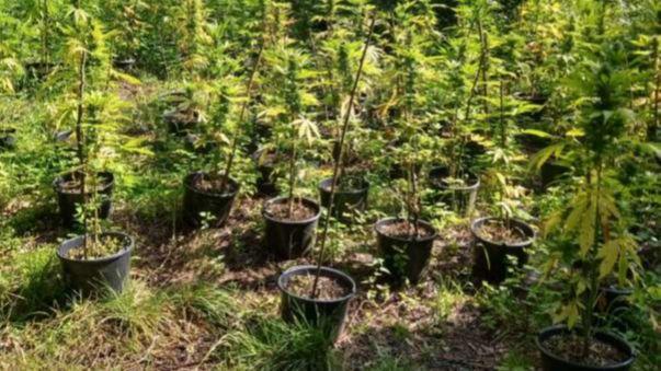 Muž na Litvínovsku našel místo hub marihuanu