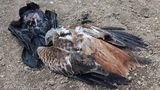 Na Vysočině našli otrávenou samici orla mořského