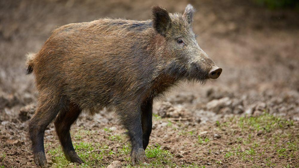 Manžele rozdělila divoká prasata na zahradě. Kvůli nim se rozvádějí