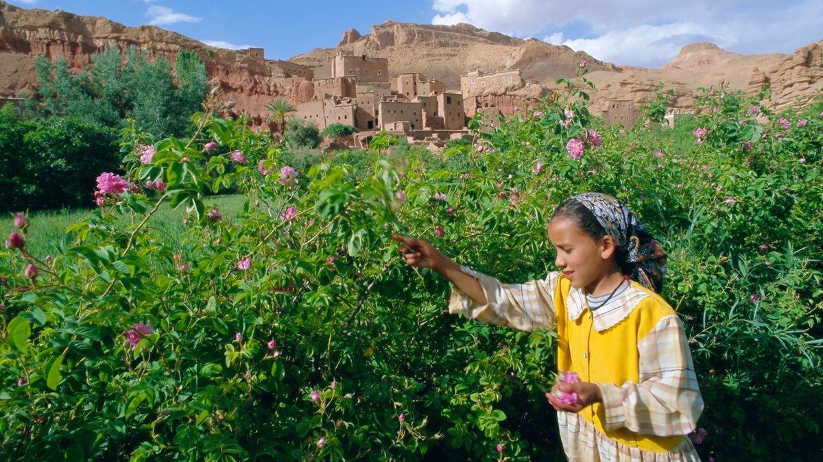 Náročná práce a málo peněz. Marocké sběračky růžových květů mají těžký život