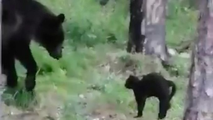 Nebojácný kocour táborníků zahnal medvěda