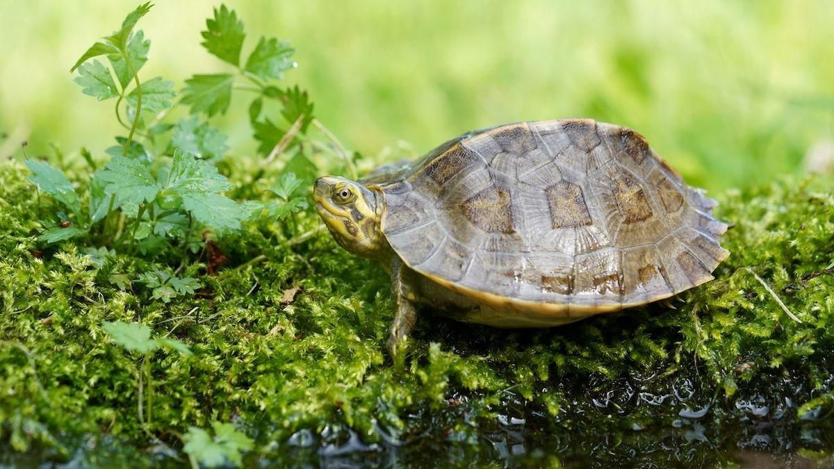 Ostravské zoo se podařil unikátní odchov želvy chrámové