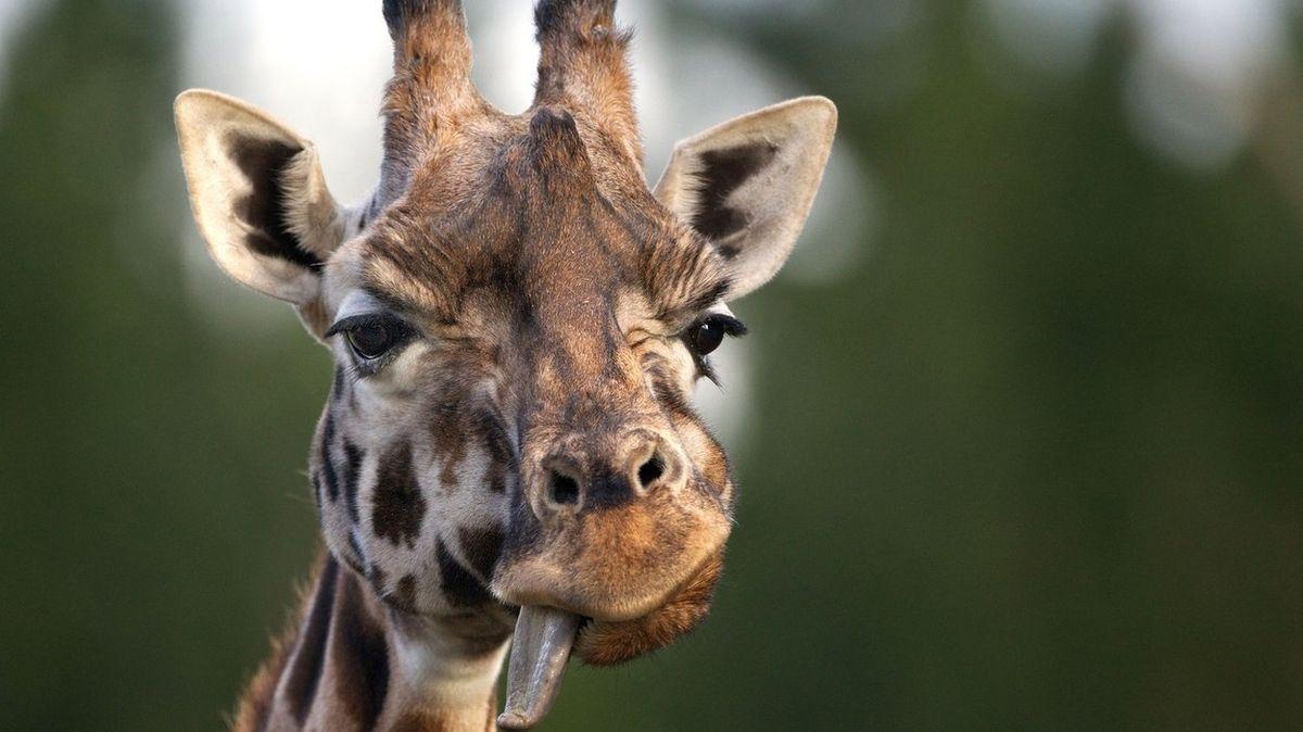 Na pláži v Kalifornii se procházela žena s žirafou