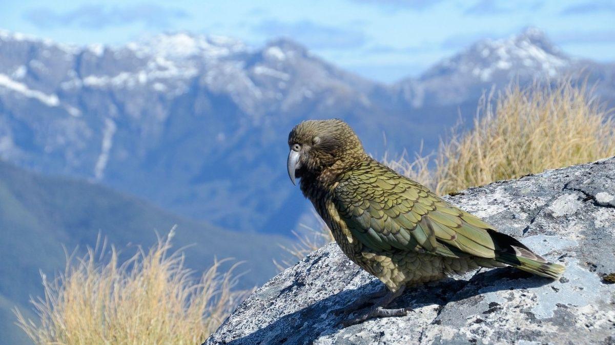 Jedním z ptáků, který vděčí za svou existenci tomuto procesu, je nestor kea, jediný horský papoušek, který žije na Jižním ostrově Nového Zélandu.