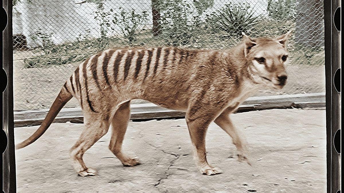 Před 85 lety uhynul poslední vakovlk, filmoví experti ho teď představili v barvě