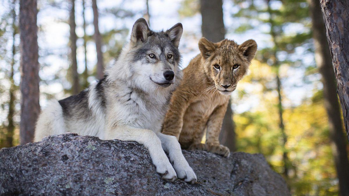 Vlk a lev utvořili nečekané přátelství bez digitálních triků