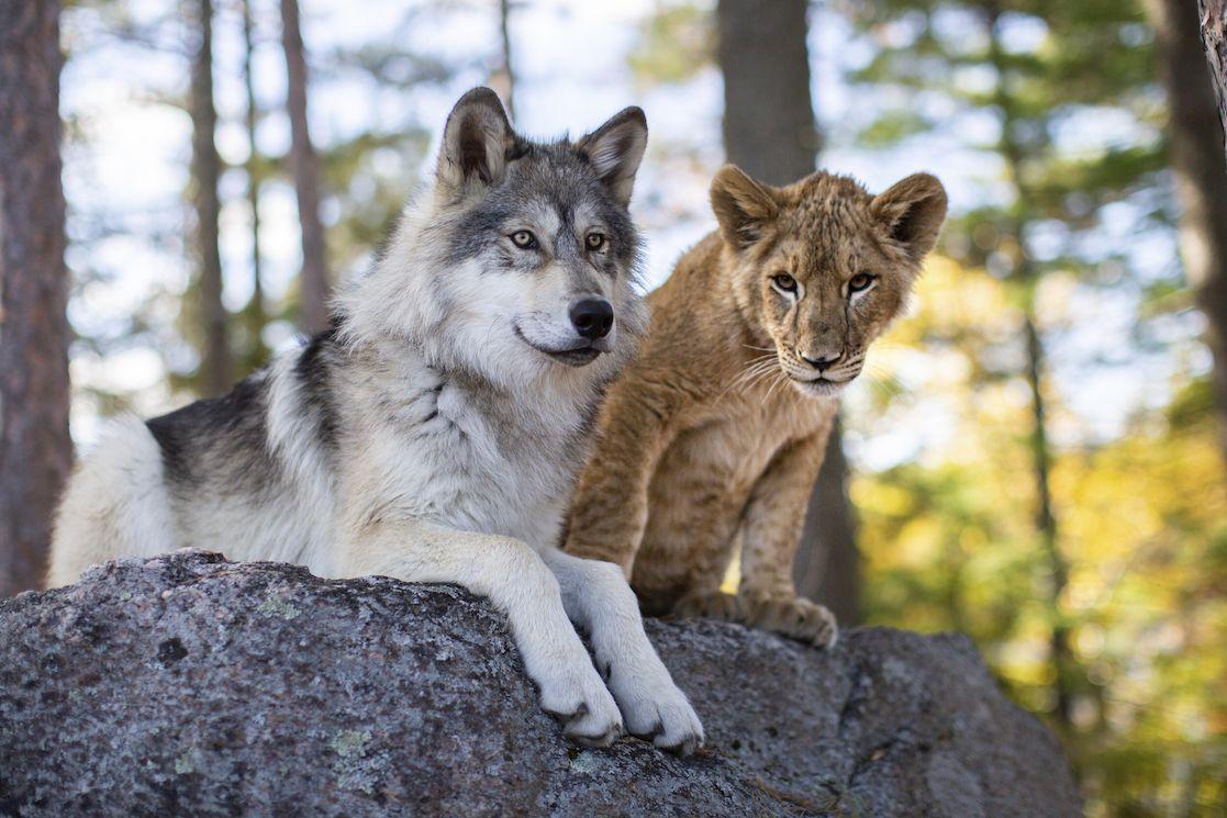 Práce se zvířaty budí u filmařů respekt. Tady ji zvládli skvěle, a šelmy se během natáčení dokonce spřátelily natolik, že spolu nadále žijí.