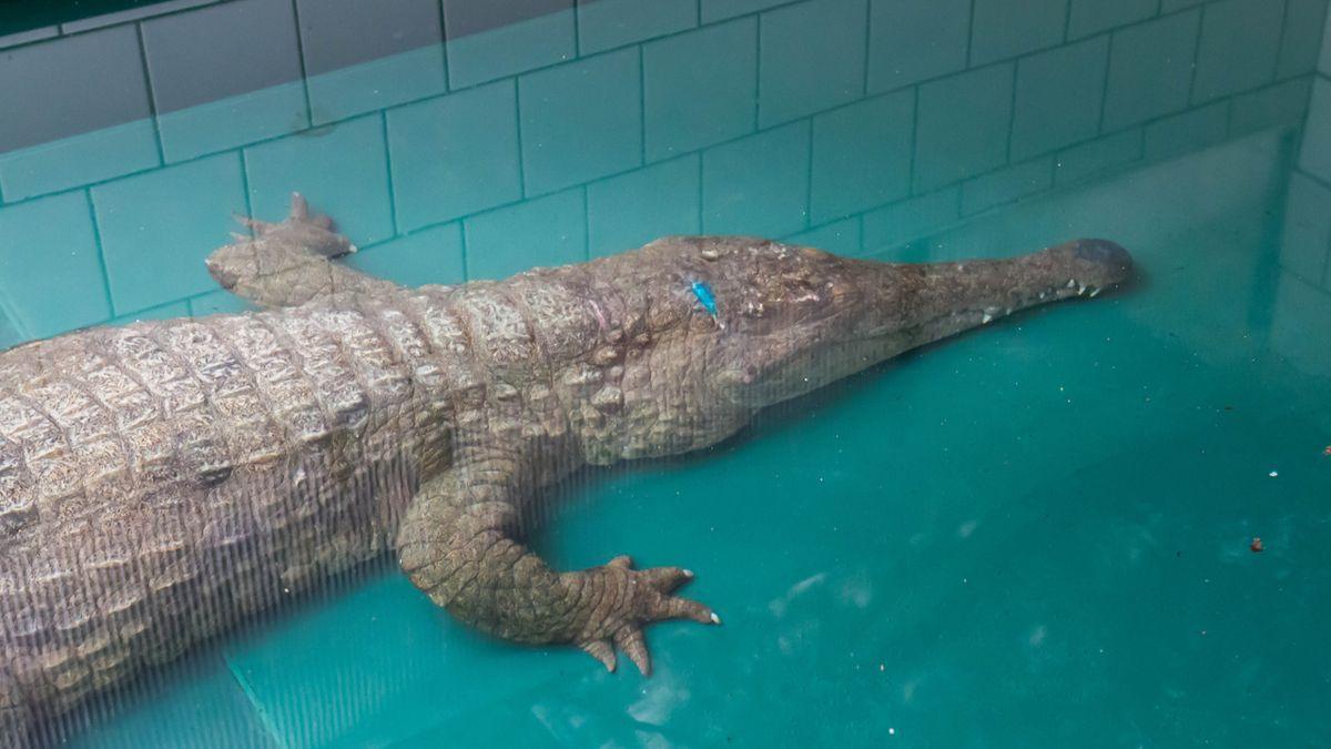 Do ZOO ve Dvoře Králové připutoval tajemný krokodýl ze Španělska