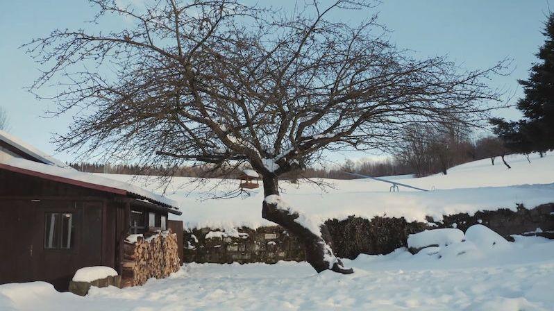Češi do soutěže o evropský strom roku letos posílají jabloň