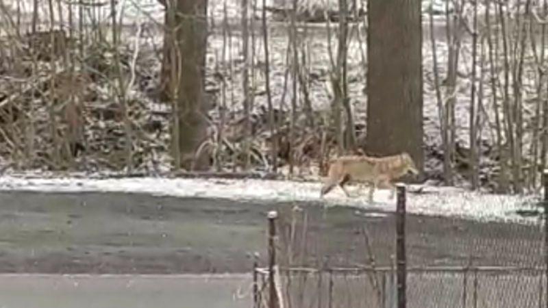 Mezi domy v Raspenavě pobíhal vlk