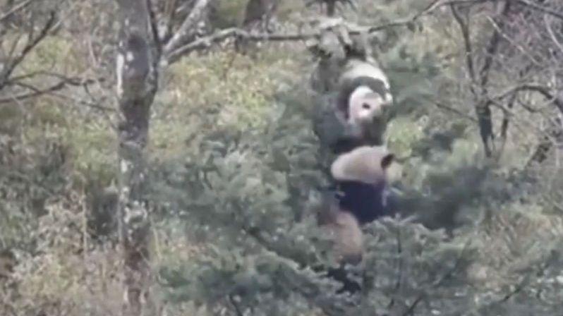 Pandy se porvaly na stromě kvůli páření