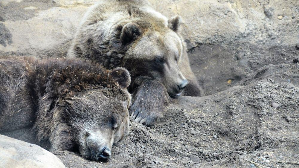 Medvědi pomáhají vědcům zjistit, proč jsou lidé leniví