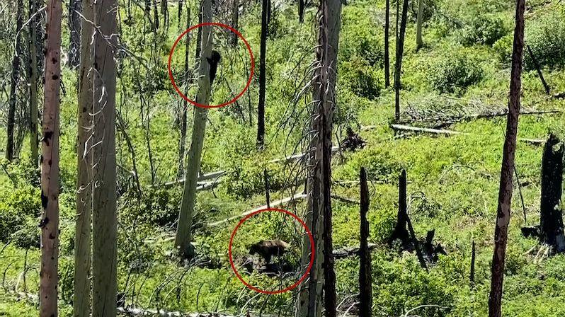 Vzácný střet medvědů: Grizzly zahnal na strom baribala