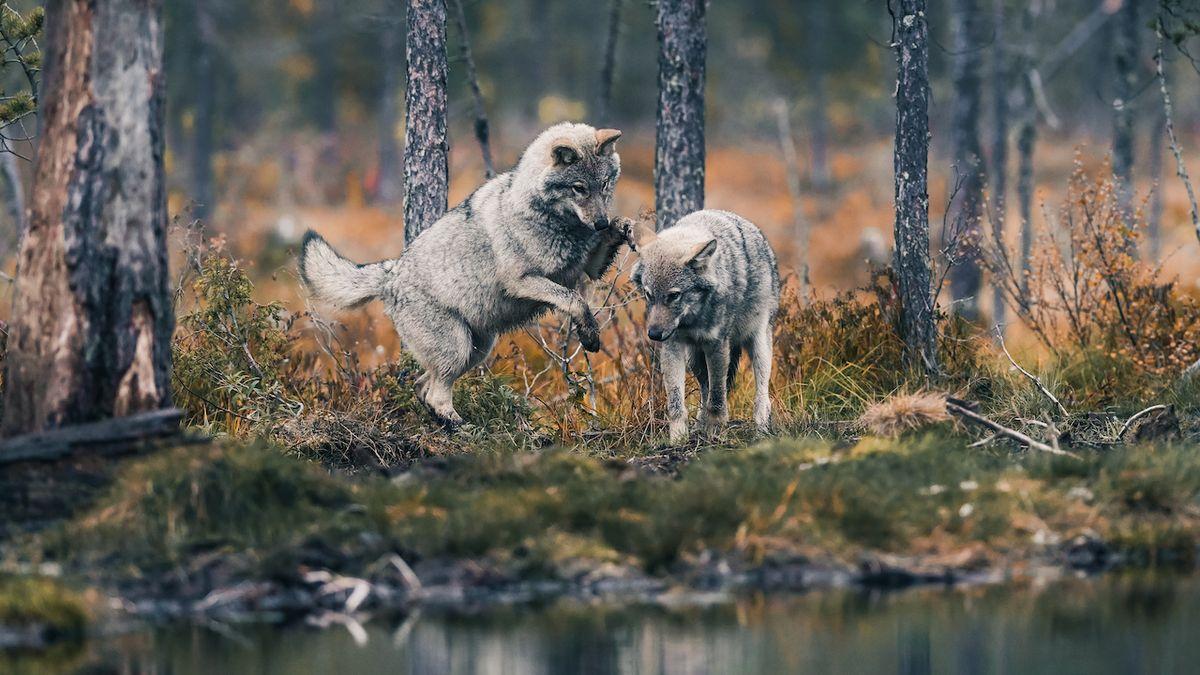 Populární fotograf dokumentoval život vlčích mláďat. Jeho tipy využijete i v Česku