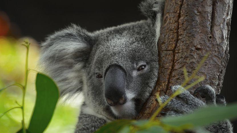 Koala může s protézou šplhat po stromech, ošetřovatelka brečela štěstím
