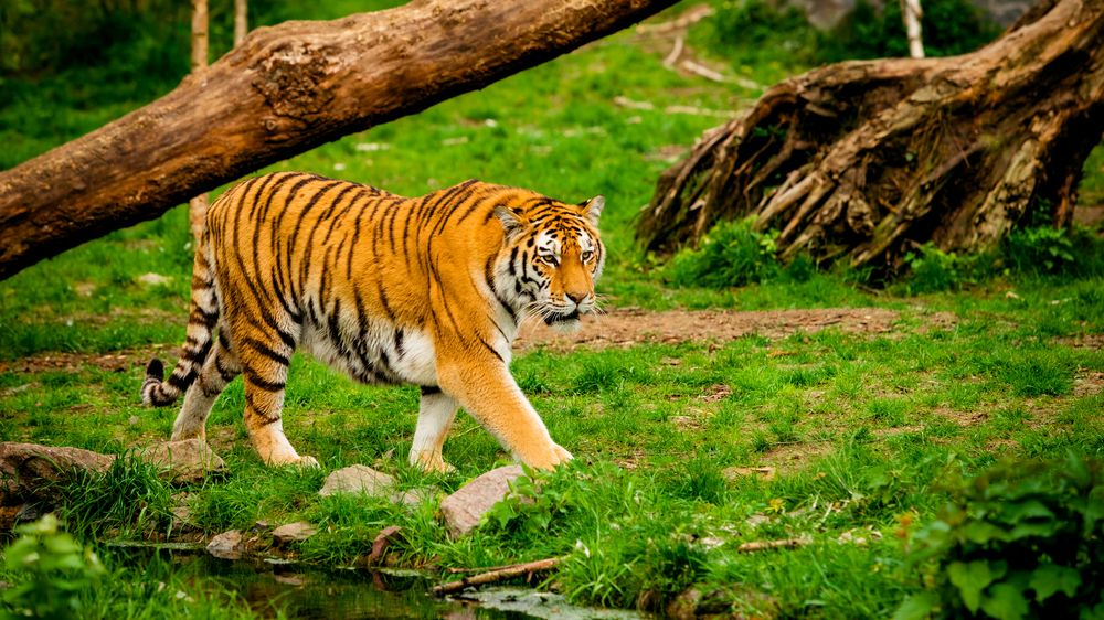 Tygr v chilském safari parku napadl mladou ošetřovatelku, na místě zemřela