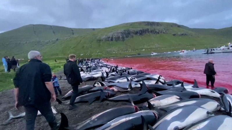 Pláže plné podřezaných delfínů. Záběry tradičního lovu na Faerských ostrovech budí odpor