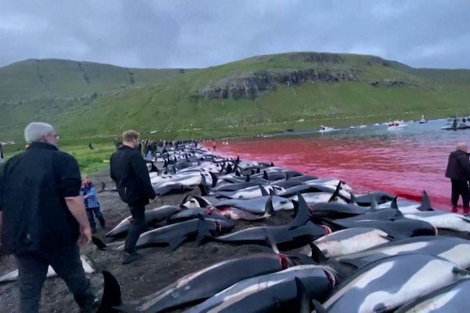 BEZ KOMENTÁŘE: Na Faerských ostrovech v rámci staleté tradice pozabíjeli 1400 delfínů