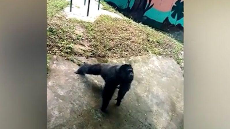 Šimpanz v čínské zoo opět nezklamal, tentokrát napodobil klikujícího turistu
