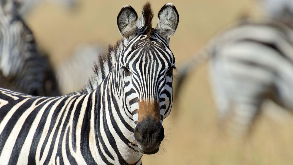 V USA utekly majiteli zebry. Už skoro dva měsíce pobíhají v přírodě