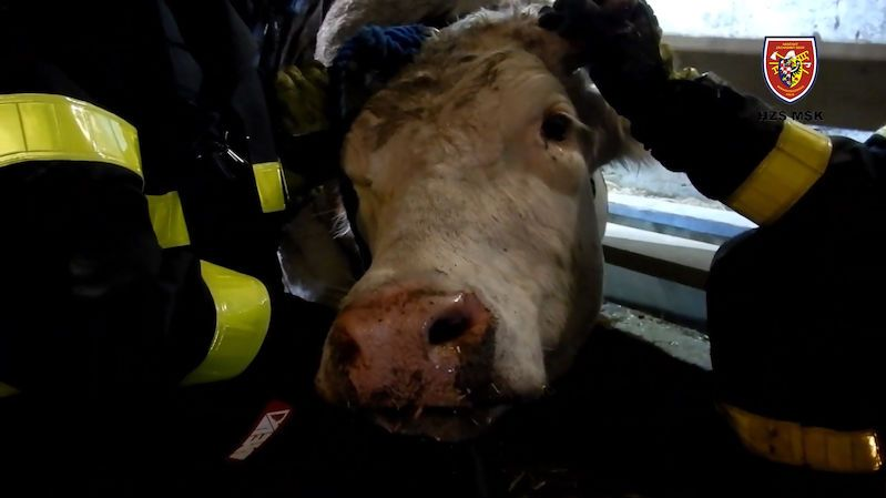 Ostravští hasiči zachránili z jímky čtyřsetkilovou krávu