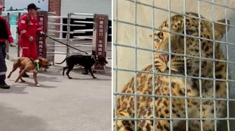 Z čínské zoo utekli levharti. Dva se podařilo chytit, třetí je stále na útěku