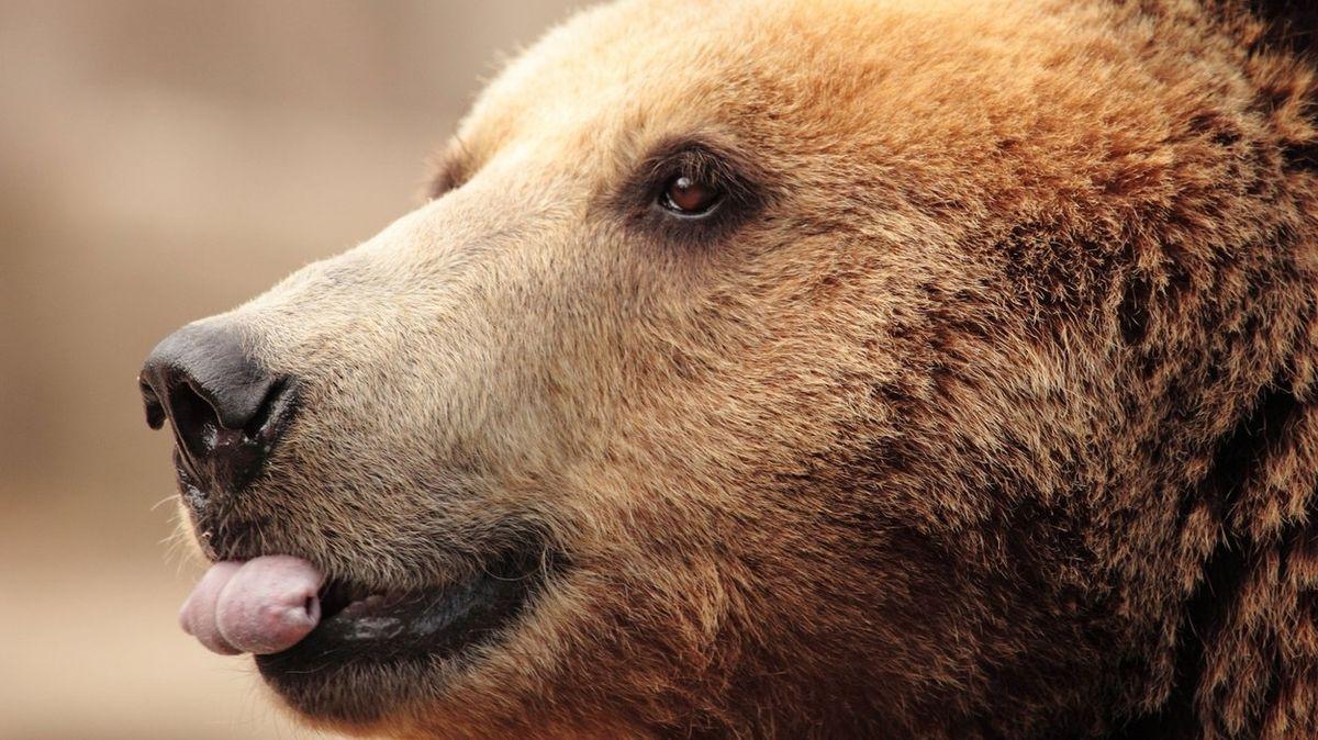 Medvěd prošel dveřmi na fotobuňku až do kuchyně tatranského hotelu