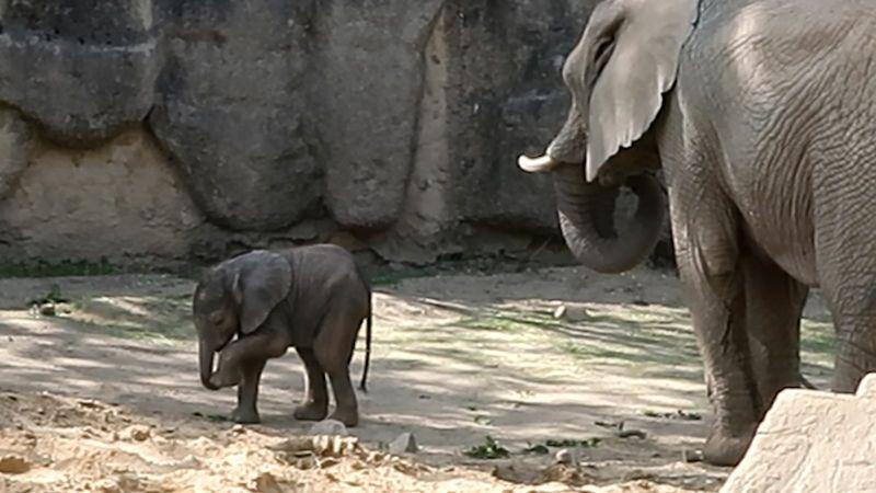 Novorozený sameček slona afrického je aktivní a nebojácný