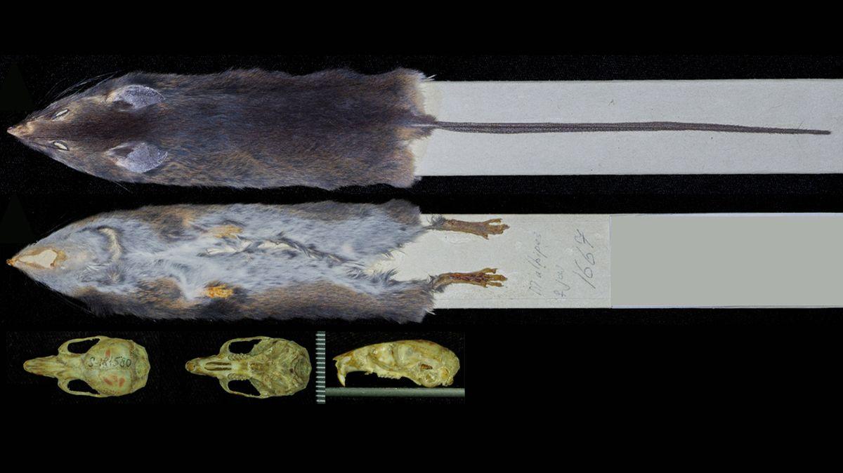 Čeští zoologové objevili rod hlodavců, kteří na Zemi žijí už šest milionů let