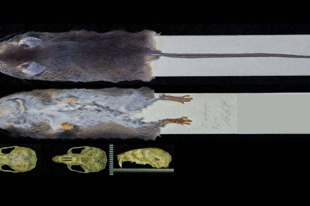 Jediný známý exemplář vzácného, nově objeveného rodu a druhu Chingawaemys rarus je uložen ve sbírkách Zoologického muzea Moskevské státní univerzity.