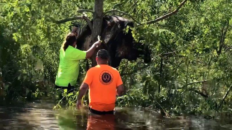 Kráva po řádění hurikánu Ida uvízla na stromě