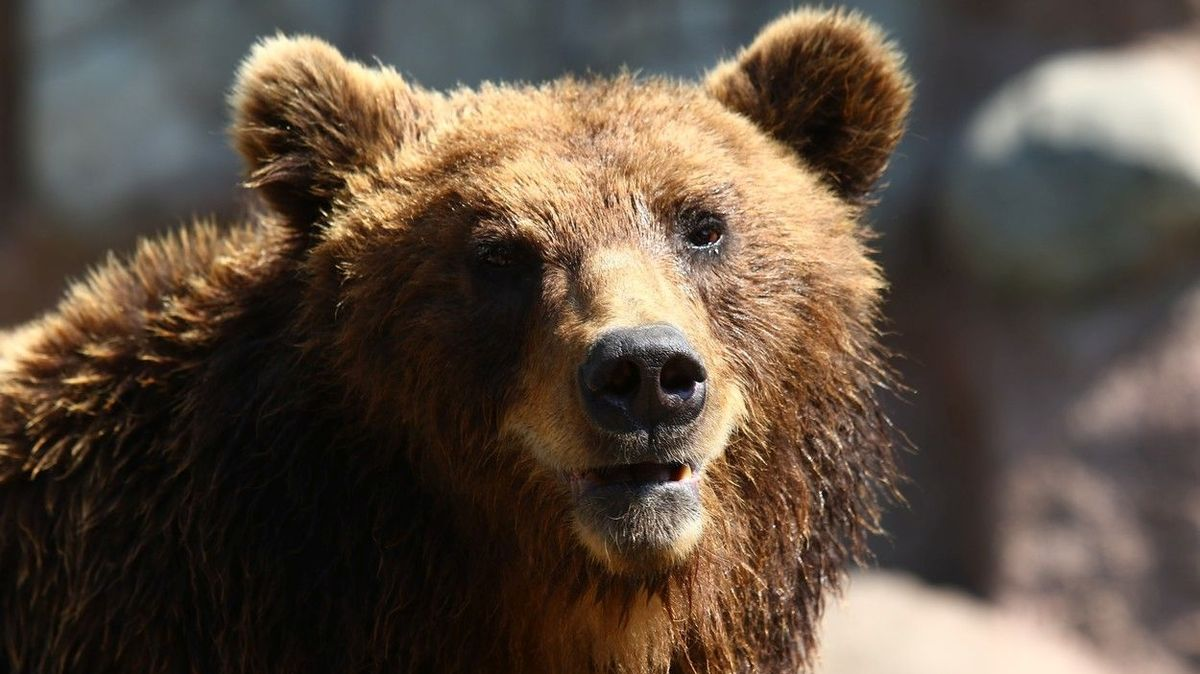 Medvěd těžce zranil ženu na středním Slovensku