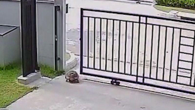 Želva se naučila otevřít vjezdová vrata u domu a utekla
