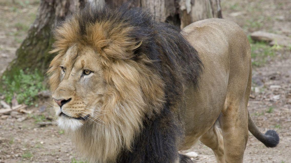 Lvi a tygři ve washingtonské zoo onemocněli covidem, musí je krmit dětskou výživou