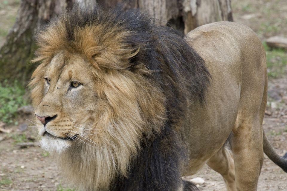 Jeden ze lvů, kteří se ve washingtonské zoo nakazili koronavirem