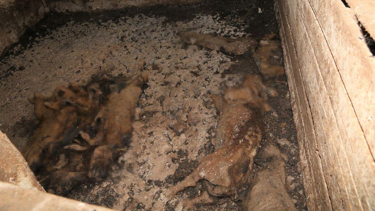 Nalezená uhynulá prasata