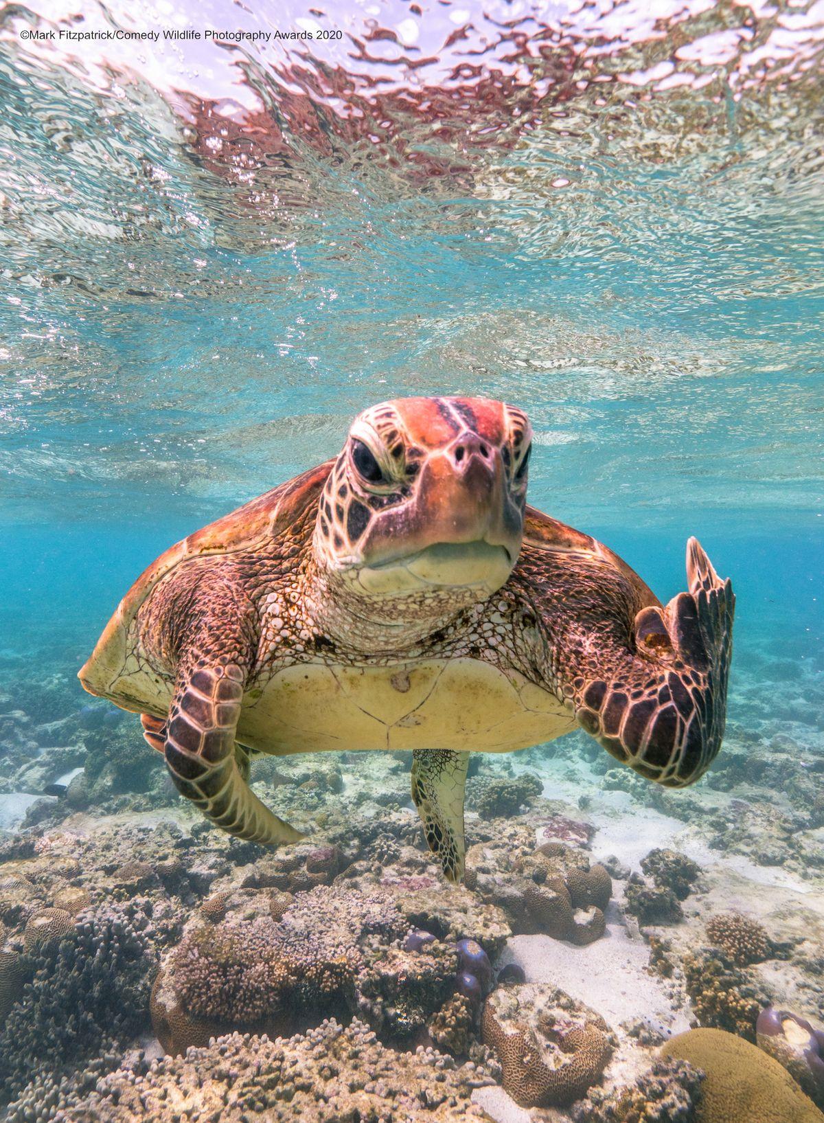 Terry ukazuje prostředníček (Celkový vítěz a vítěz kategorie Zvířata pod vodou) - Želva, Austrálie