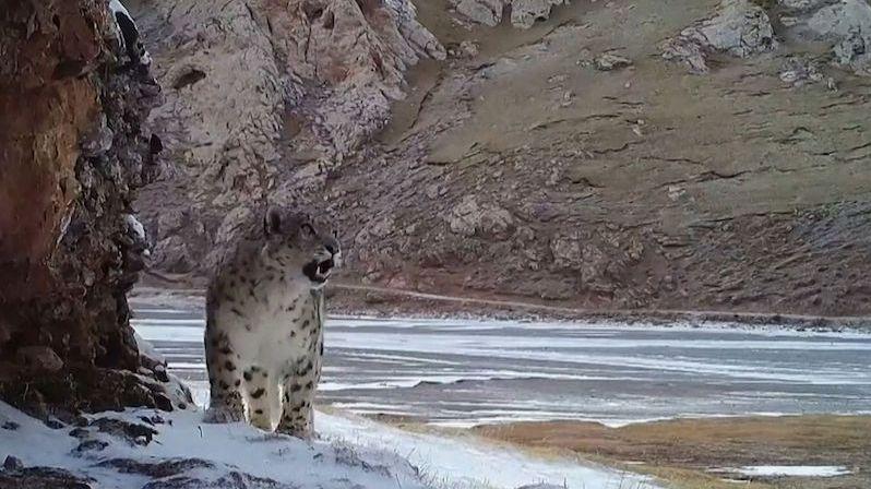 Kamera zachytila vzácné záběry roztomile řvoucího irbise